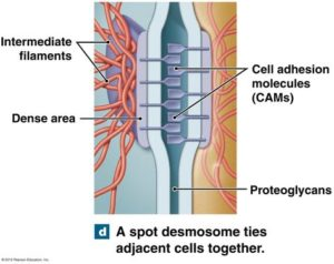 cell surface differentiation